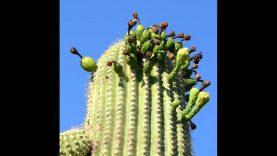 ZAUJÍMAVOSTI A FAKTY : Giganty púšte