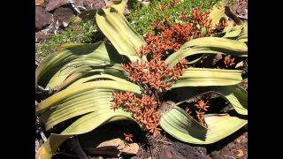 ZAUJÍMAVOSTI A FAKTY : Najčudnešia rastlina sveta