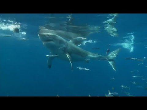 Žraloci Středozemního moře